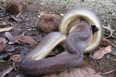 Python-swallows-wallaby2
