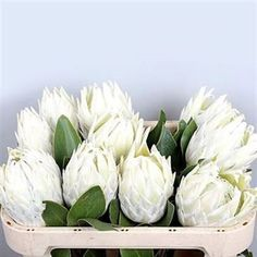 Protea-Arctic-Ice-white-wholesale-2.jpg (379×379)