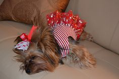 Worn out Christmas Yorkie