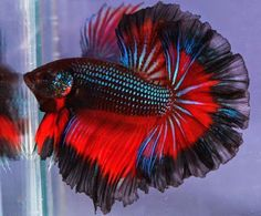 Black blue red dragon butterfly Rosetail
