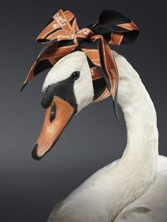 Swan in Hermes by Armin Zogbaum Photography Carefully selected by GORGONIA Armin, Hermes Handbags, Cute Animals, Birds, Black And White, Drawings, Illustration, Pictures, Hermes Scarves