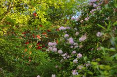Wild Rhododendron Gardens in Howth, Ireland