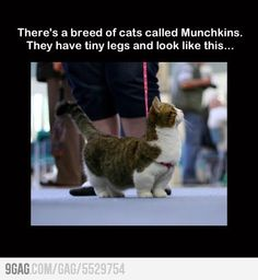 aaaaw its true, munchkin kitties exist  @Lisa Phillips-Barton