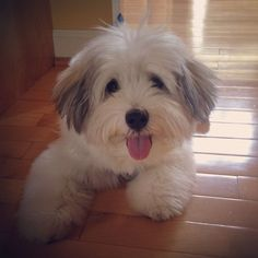 The Havanese originates from Havana, in Cuba, and was bred originally as a lapdog and performer. It's origins can be dated back to antiquity.3b6e6cf15f237c777318930aab378b31.jpg 1.180×1.180 píxeles
