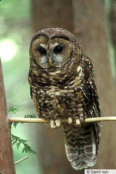 Spotted Owl — Birds of North America Online