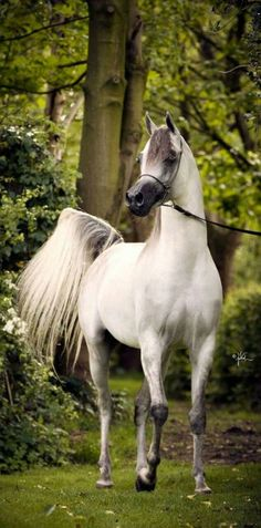 Beautiful Arabian horse. Looks like his legs are going to break any minute - so skinny.