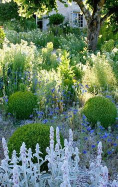 Buxus spheres and blue planting (Nepeta, Salvia, Lupins, ...)