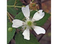 Rubus pensilvanicus (Pennsylvania blackberry)   Rosaceae (Rose Family)   Special value for native bees, bumble bees ; provide nesting material/site for native bees