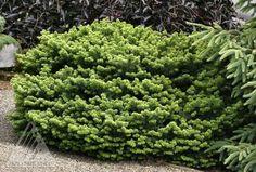 gen vrier couvre sol 39 blue star 39 jardin v g tal g a r d e n pinterest couvre sol. Black Bedroom Furniture Sets. Home Design Ideas