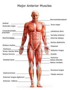 Anterior Muscles of Human body #anterior #muscles #anatomy goo.gl/8uYoPM