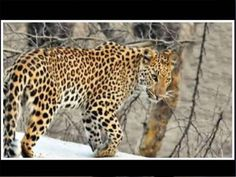 JAIPUR: Jhalana Reserve Forest in Jaipur will spearhead 'Project Leopard', a first of its kind conservation effort in the world to be launched across eight conservation reserves and sanctuaries across Rajasthan.