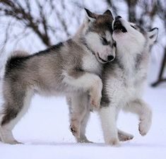 adorable huskies playing in the snow.