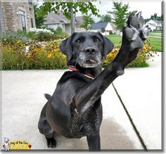 Read Katy's story the Labrador Retriever mix from Michigan and see her photos at Dog of the Day http://DogoftheDay.com/archive/2013/November/01.html .