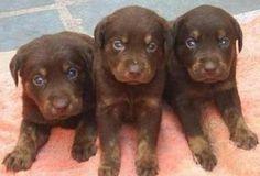 Labrador chocolate. Na minha opinião o cão mais lindo e meigo do momento!