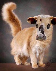 Le chat vache, trop mimi  dans Animaux insolites 091227105418133815129707