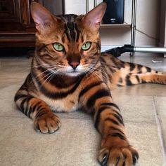 gato-bengala1