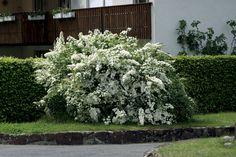 Spierstrauch Fontana - Blütensträucher - Frühjahrsblüher von Lubera (Bestellnr. lub60370)