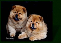 chow chows puppies - red rough