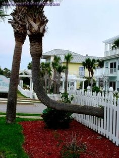Palm Tree Growing Sideways Through A White Picket Fence