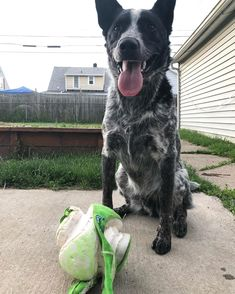 Dogs Who are Scared of Thunderstorms BALL FOR SALE! slightly used barely played with and great for swinging around! will accept treats as a form of payment! Medication For Dogs, Behavior Modification, Relaxation Techniques, Phobias, Thunderstorms, Dog Owners, Adele, Scarlet, Kendall