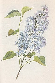 (used for cure for poison ivy/oak? Garden Painting, Painting & Drawing, Botanical Illustration, Botanical Prints, Lilac Tattoo, Adorable Petite Fille, Lilac Flowers, Vintage Prints, Flowers