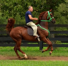 ANY SIZE Lime Green English Horse Bridle & Breast Collar made from Beta Biothane                  ***photo credits***    Horse - Reggie (American Saddlebred)    Owner - Blue Willow Farm in Versailles, KY      photo property of Two Horse Tack