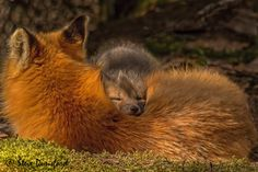 A young fox kit finds a comfortable place to rest. Steve Dunsford