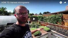 How To: Harvest microgreens