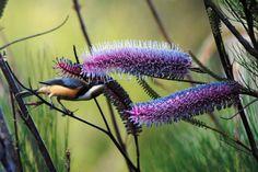 Eastern Spinebill on Grevillea magnifica. 2 X African Plants, Australian Birds, Blue Mountain, Native Plants, Natural World, Mother Nature, Mammals, Wildlife, Backyard
