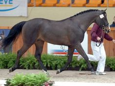 Brown - Pictured is Dream D'Hedje DWS; Belgian Warmblood stallion in Belgium