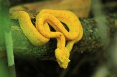cahuita national park attraction page golden eyelash pal pit viper   - Costa Rica