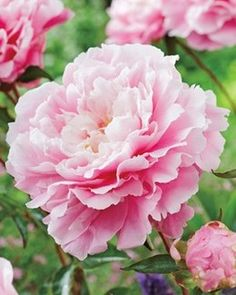 Superb Color Transformation. Morning Kiss produces exceptionally soft pink fragrant double flowers on compact plants. The flower color chang...