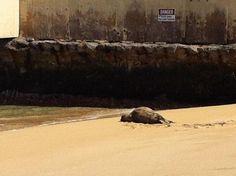 Monk seal spotted near Waikiki Natatorium...