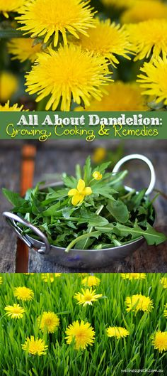 All About Dandelion: