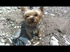 Swimming yorkie dog, yorkshire terrier retriever - YouTube