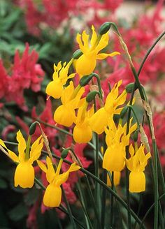 """Narciso Narcissus 'triandrus  concolor"""" Fotografia de John Glover, uno de los primeros y de los mas importantes fotografos de jardin del Reino Unido"""