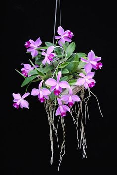 """Laelia furfuracea"" Orchid roots love fresh air. Learn more at: https://www.houseplant411.com/houseplant/orchids-how-to-grow-care"