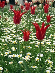 Tulips popping through a daisy field in Istanbul, Turkey