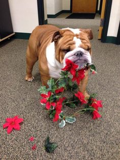 """❤ """"I love """"decorating"""". I have my own technique! You put them up, then I tear them down when you not looking."""" ❤ Posted from Teddy the #English #Bulldog"""