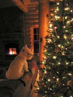 Beautiful Westie Christmas photo. Home is not home without a westie …