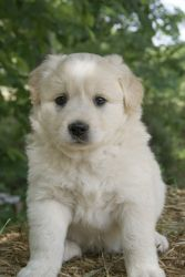 Oliver~ is an adoptable Golden Retriever Dog in Pearl River, NY. Oliver is a sweet little 8 week old male Golden Retriever/Aussie puppy surrendered to our rescue in TN. He loves other dogs and really ...