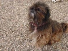 Amy is an adoptable Shih Tzu Dog in Baraboo, WI. Thank you for considering a companion animal from the Sauk County Humane Society located in Baraboo, Wisconsin. If you are interested in one of our ani...