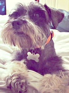 Lost Dog - Schnauzer Miniature - San Antonio, TX, United States 78217