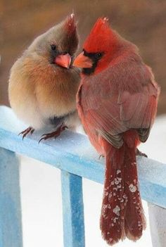 Mr. and Mrs. Cardinal - remember to feed the birds during the harsh cold and snowy winters. It's difficult for them to find food and water while everything is frozen. :(