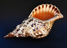 Tritons Trumpet Sea Shell - Macro Photograph-Fine Art Photography-11X14 Photo Print