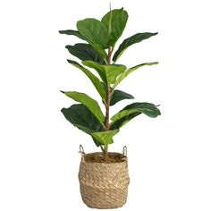 Add some colour and life into your home with this glorious Real Touch Fiddle Fig Plant The artificial plant is perfect for bringing character to any room