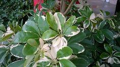 หนวดปลาหมึกด่าง (Schefflera sp. Schefflera arboricola (Hayata) Hayata 'Variegata')