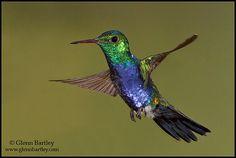 Sapphire bellied hummingbird