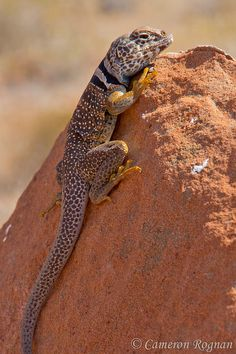 Desert Collared Lizard Les Reptiles, Reptiles And Amphibians, Mammals, Alligators, Crocodiles, Desert Lizards, Desert Animals, Komodo, Anaconda