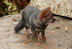 Darwin fox (Dusicyon fulvipes) Fox Farm, Maned Wolf, African Wild Dog, Cute Fox, Coyotes, Wild Dogs, Red Fox, Darwin, Animal Kingdom